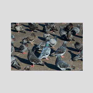 Rock pigeons - Rectangle Magnet